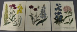 Three Hand-colored Botanical Engravings After Sydenham Edwards