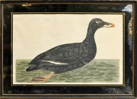 P. Paillou Hand-colored Engraving of the Velvet Drake