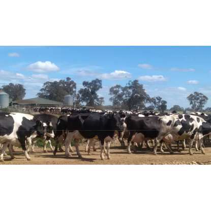 Dairy Farm - Business & Freehold - VIC / NSW Border - 33912