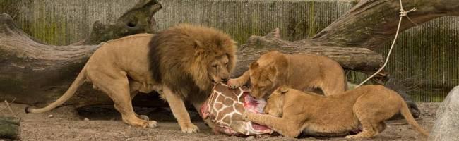 Fiasco - The Zoo