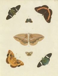 Eight Framed Hand Colored Engravings of Butterflies and Moths