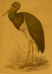 Framed Edward Lear Lithograph of the Black Stork from Birds of Europe.