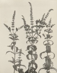 Edwin Hale Lincoln (American, 1848-1938)      Two Wildflower Studies: Habenaria Hookeriana. Hooker's Orchis