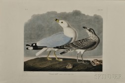 Audubon, John James (1785-1851) Common Gull  , Plate CCXII.
