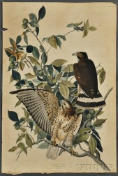 Audubon, John James (1785-1851) Broad-winged Hawk,   Plate 91.