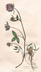 (Botanical Illustration), Sinclair, George (1786-1834)