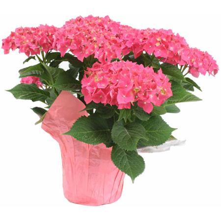 Hydrangea Plants Coloured - Morrisburg, ON Florist