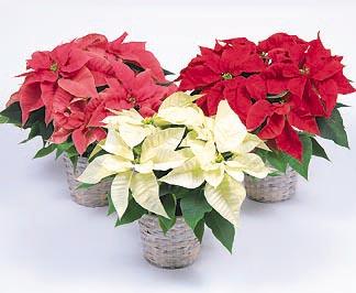 Triple Poinsettia Hudson Oh Florist