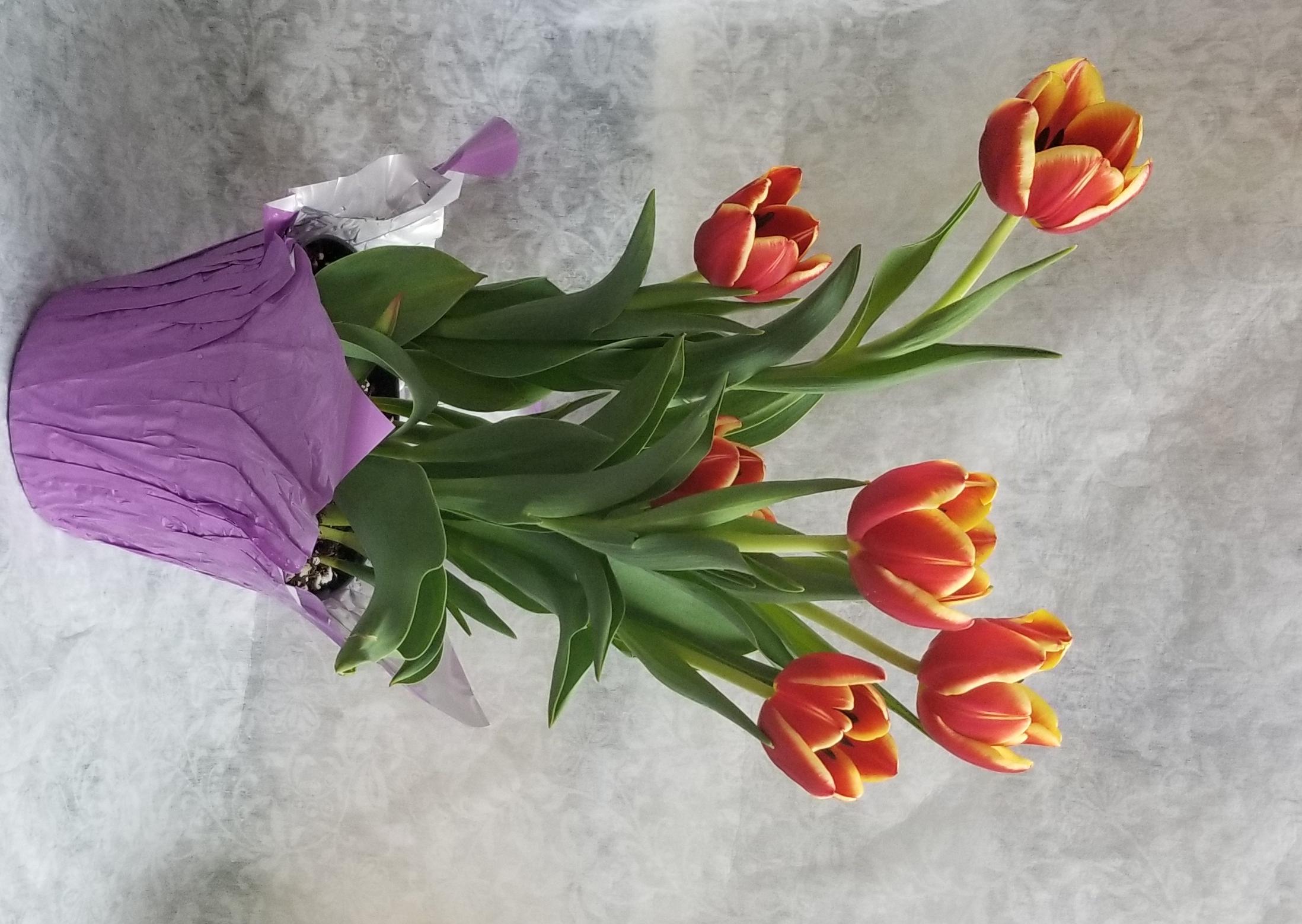6 Tulip Plant Swedesboro Nj Florist
