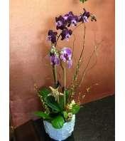 Orchid Paradisio