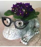 African Violet Frog Plant