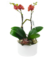 Mini Orange Orchid