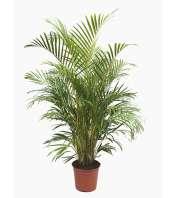 Majestic Palms