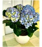 Blue Hydrangea Planter