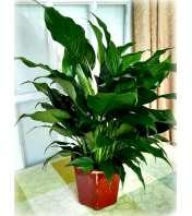 Spathiphyllum Ceramic Planter