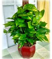 Pothos Plant in Ceramic