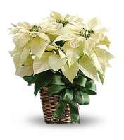 White Poinsetta
