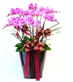Phalaenopsis Pot