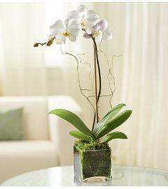Elegant Orhid