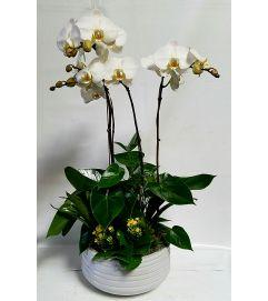 White Phal Garden #3