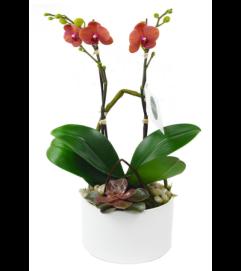 Mini Orange Orchid