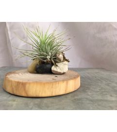 Tillandsia and Wood