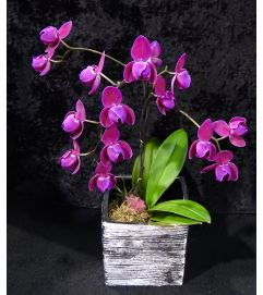 Orchid plant in a an elegant silver pot