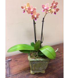 Majestic Miniature Orchid