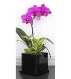 Exotic Phalaenopsis