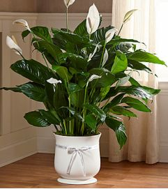 Large Peace Lily Comfort Planter