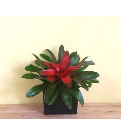 Low Center Bromeliad