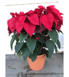 15 Plants in pot - Poinsettia