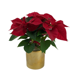Gold Poinsettie