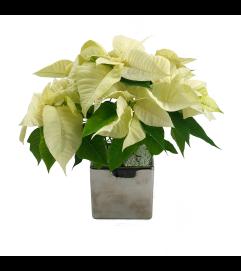 Silver Poinsettia