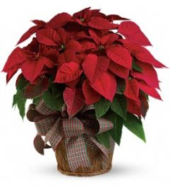 Large Red Poinsetta