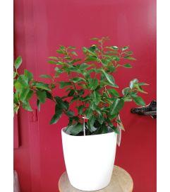 Lime Tree plant