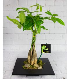 Elegant Money Tree