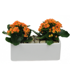 Double Orange Kalanchoe