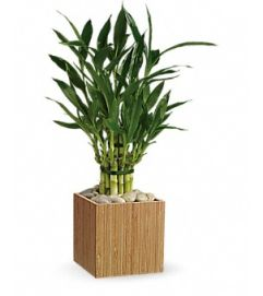 LUCKY BAMBOO DESIGN