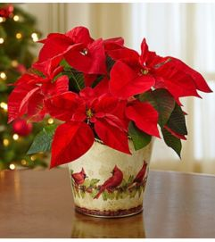 Red Holiday Traditions Poinsettia