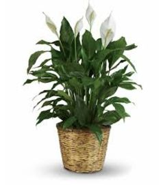 Large Beautiful White Peace Lily Plant
