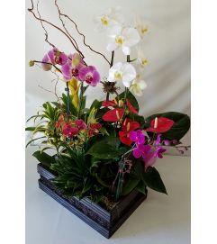 Tropical Mini Phal Garden #2