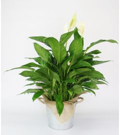 Decorative Peace Lily Plant by DiBiaso