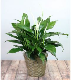 Decorative Spathiphyllum Plant by Kirk