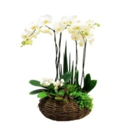 Enlightment of white Orchid