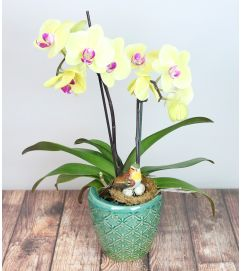 Decorative Orchid Plant
