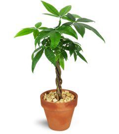 Petite Money Tree