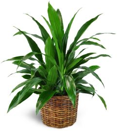 Dracaena Plant in a Basket