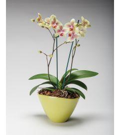 2 Spike Orchid Garden