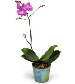Royal Fuchsia